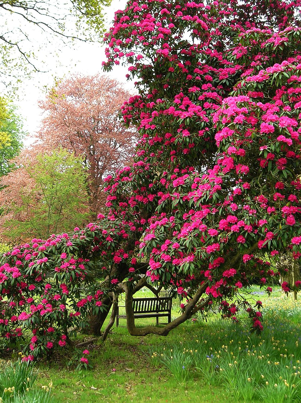 adelaparvu.com despre unde se planteaza azaleea de gradina si rododendronul, Text Carli Marian
