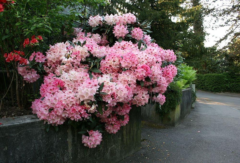 adelaparvu.com despre unde se planteaza azaleea de gradina si rododendronul, Text Carli Marian (5)