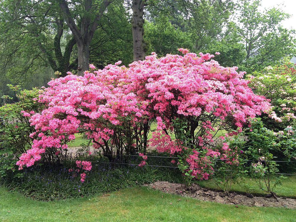 adelaparvu.com despre unde se planteaza azaleea de gradina si rododendronul, Text Carli Marian (6)