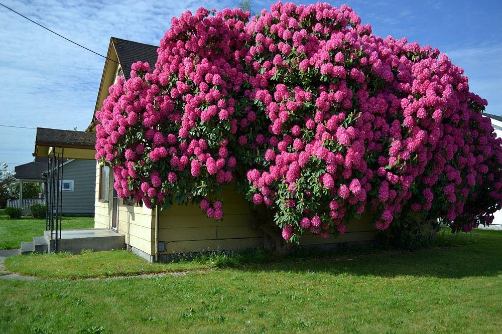 adelaparvu.com despre unde se planteaza azaleea de gradina si rododendronul, Text Carli Marian (7)
