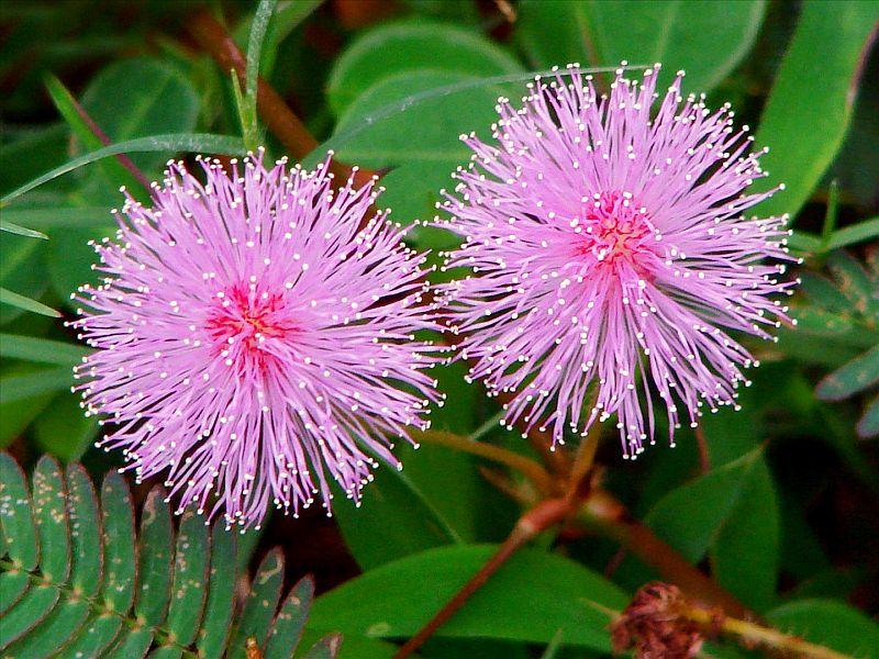 adelaparvu.com despre Mimosa pudica, cum se ingrijeste mimoza, text Carli Marian (10)