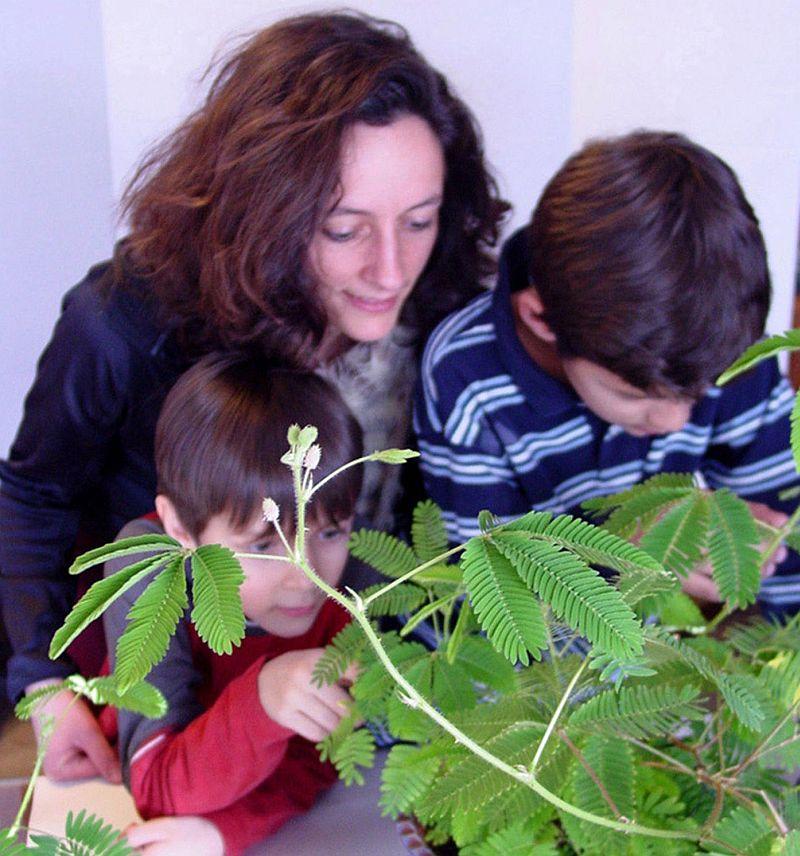 adelaparvu.com despre Mimosa pudica, cum se ingrijeste mimoza, text Carli Marian (3)