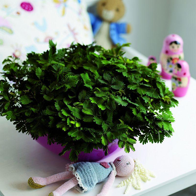 adelaparvu.com despre Mimosa pudica, cum se ingrijeste mimoza, text Carli Marian (4)