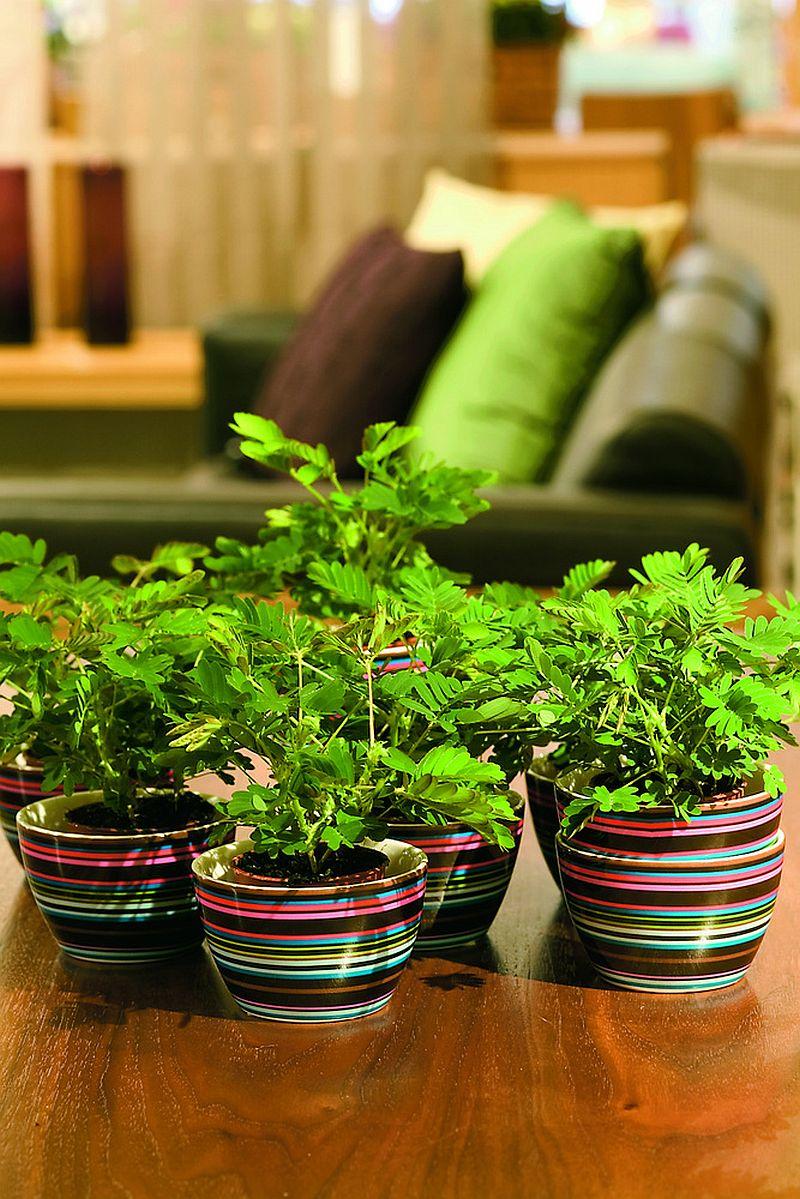 adelaparvu.com despre Mimosa pudica, cum se ingrijeste mimoza, text Carli Marian (6)