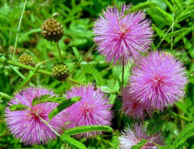 adelaparvu.com despre Mimosa pudica, cum se ingrijeste mimoza, text Carli Marian (7)