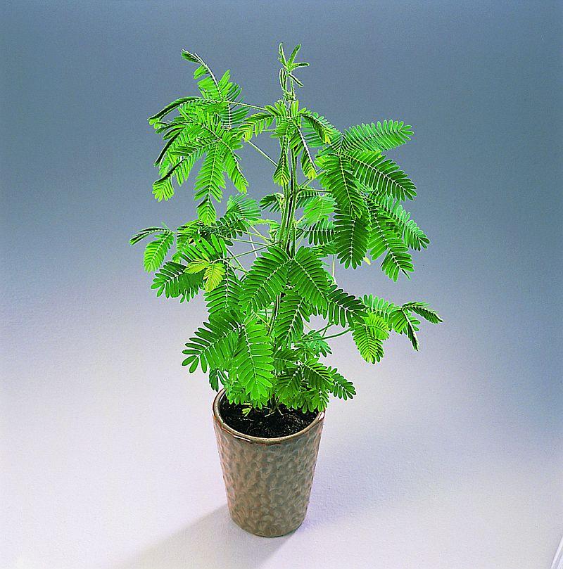 adelaparvu.com despre Mimosa pudica, cum se ingrijeste mimoza, text Carli Marian (8)