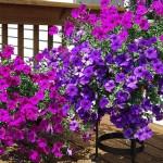 adelaparvu.com despre Petunia, cum ai pentunia mereu inflorita, Text Carli Marian (13)