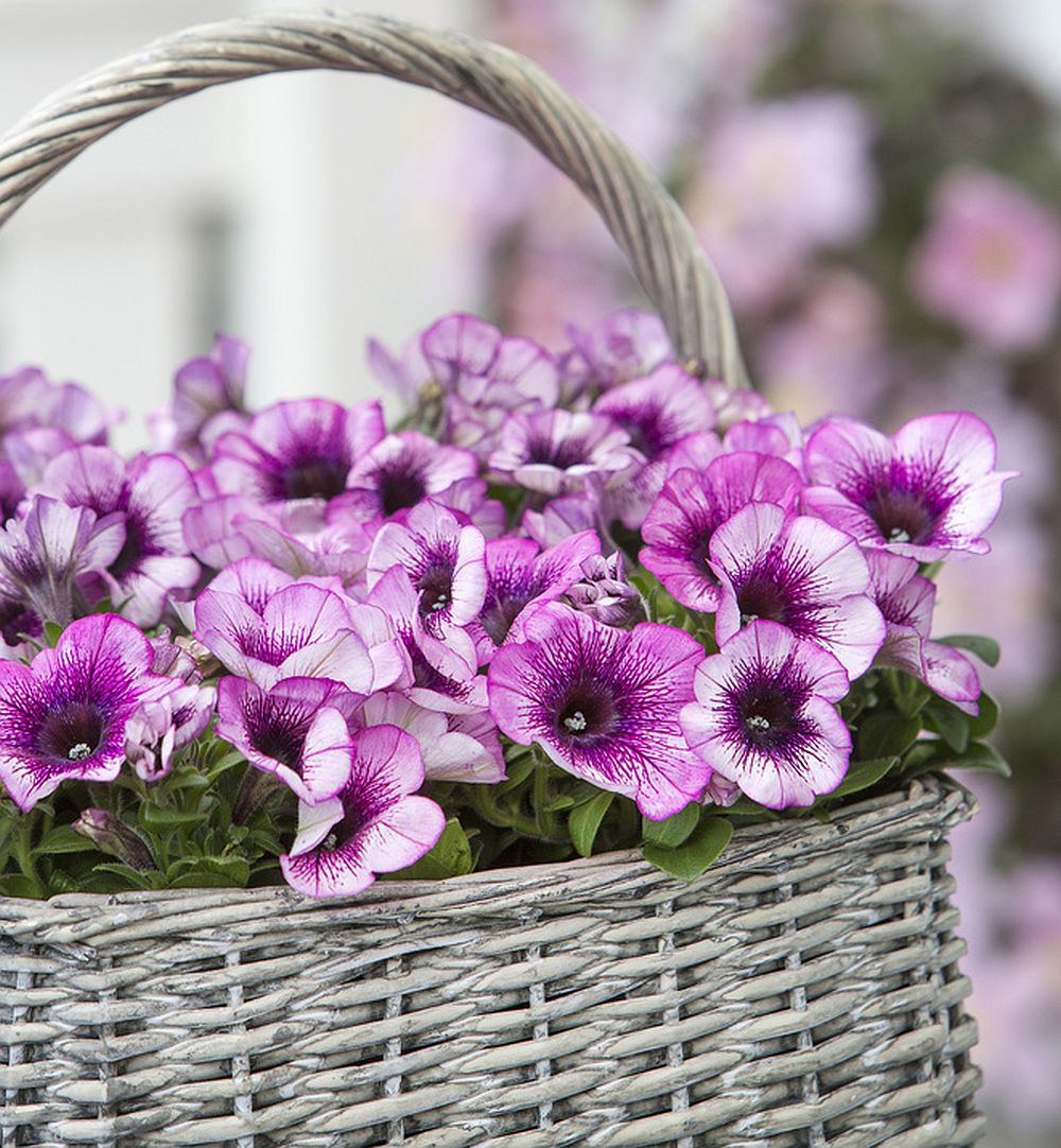 adelaparvu.com despre Petunia, cum ai pentunia mereu inflorita, Text Carli Marian (5)