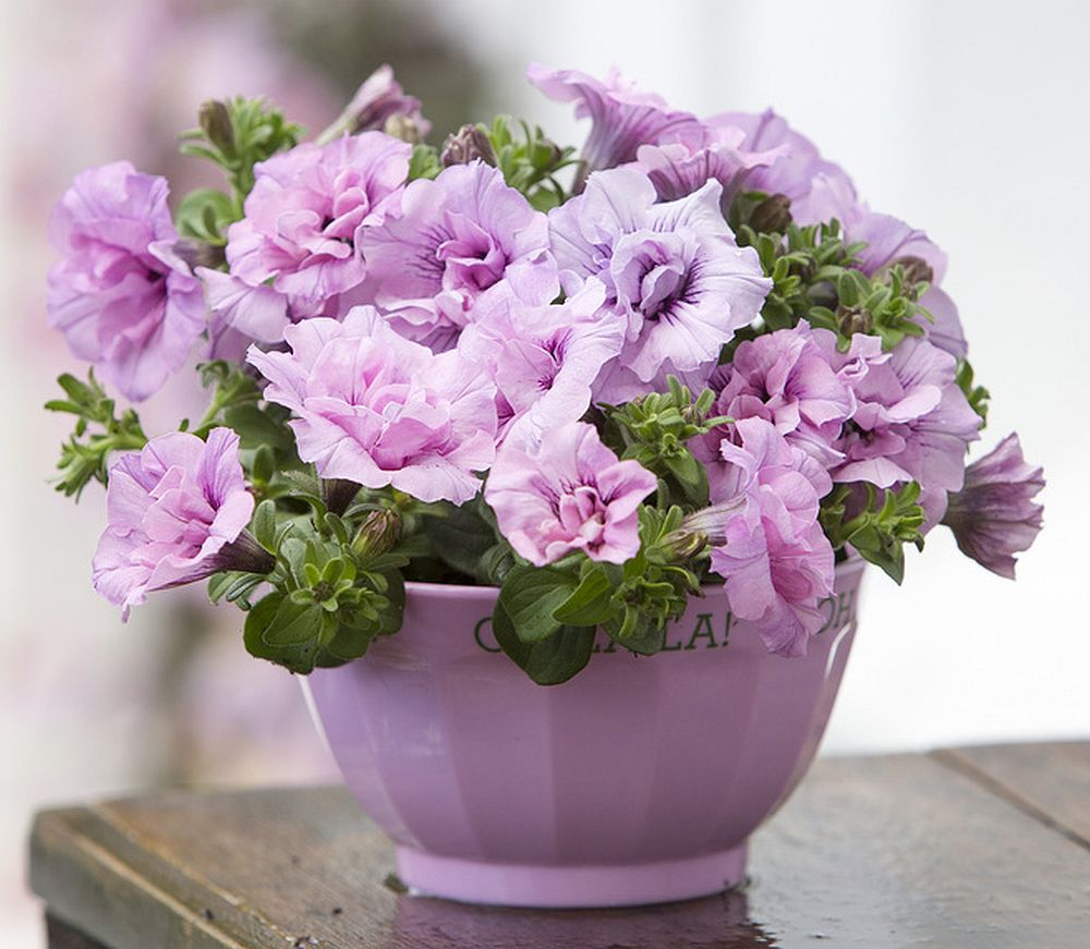 adelaparvu.com despre Petunia, cum ai pentunia mereu inflorita, Text Carli Marian (7)