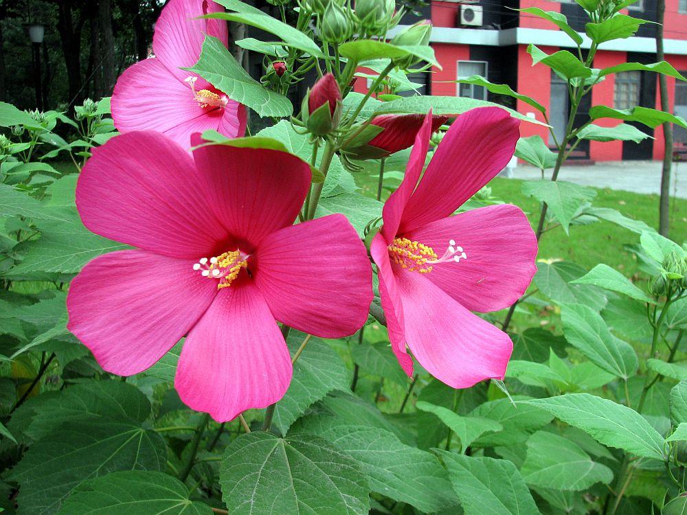 Hibiscus cu flori gigant c t o farfurie l po i planta for Hibiscus arbol