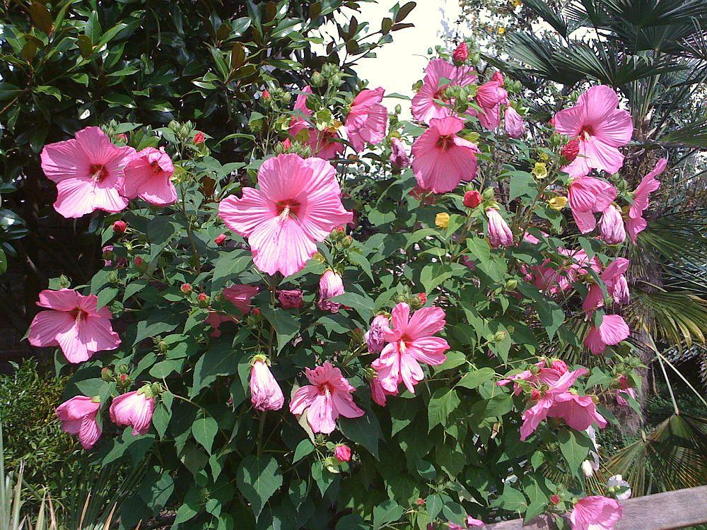 adelaparvu.com despre hibiscus cu flori gigant, flori uriase, Text Carli Marian (3)