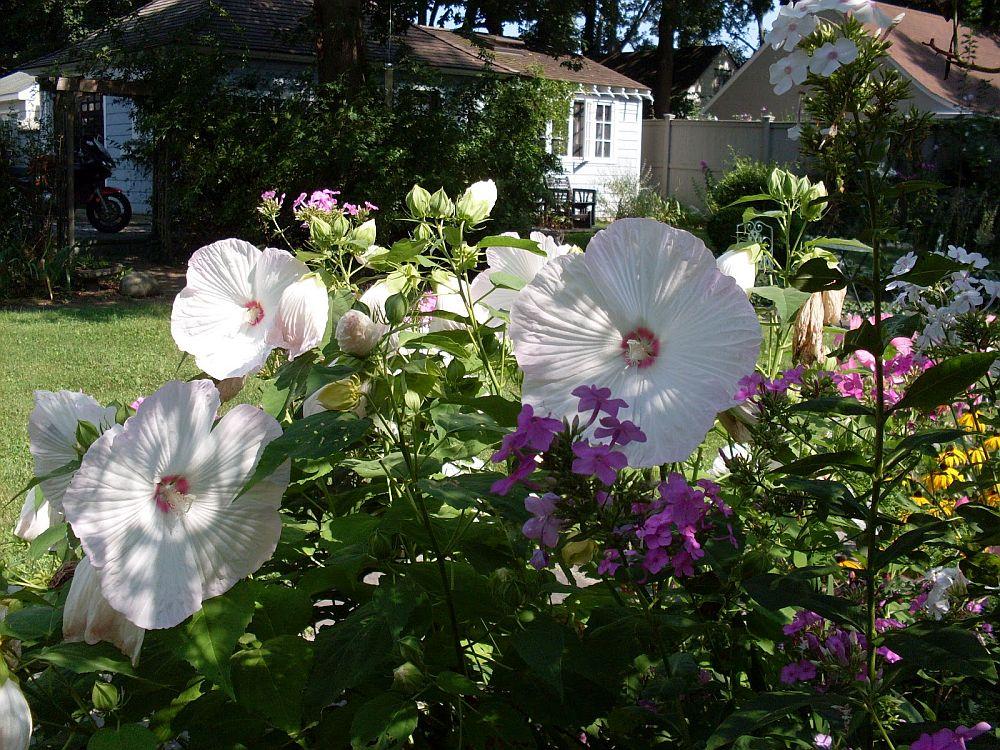 adelaparvu.com despre hibiscus cu flori gigant, flori uriase, Text Carli Marian (4)