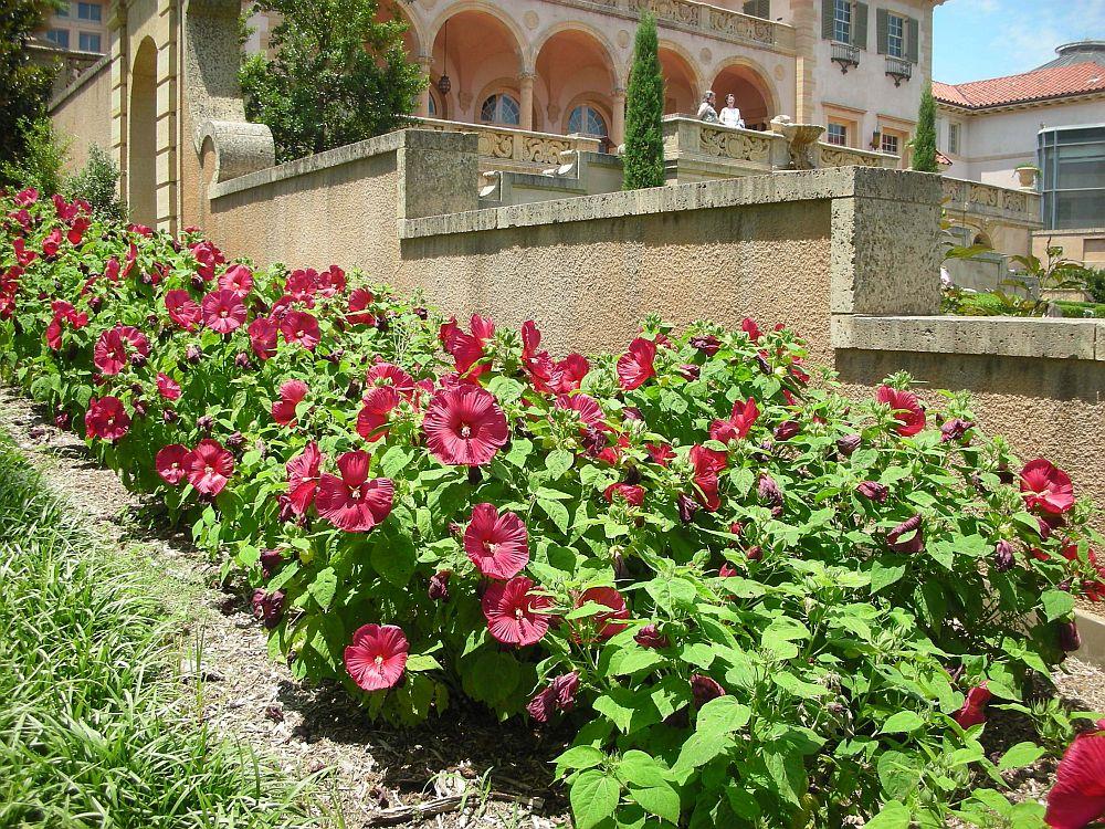 adelaparvu.com despre hibiscus cu flori gigant, flori uriase, Text Carli Marian (5)