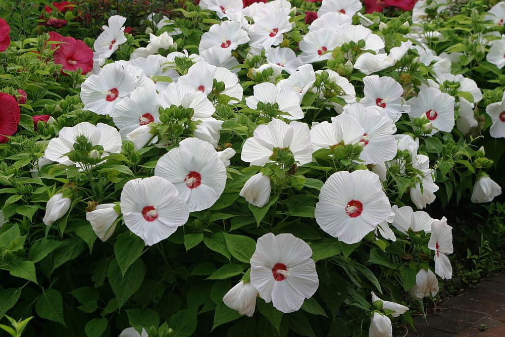 adelaparvu.com despre hibiscus cu flori gigant, flori uriase, Text Carli Marian (7)