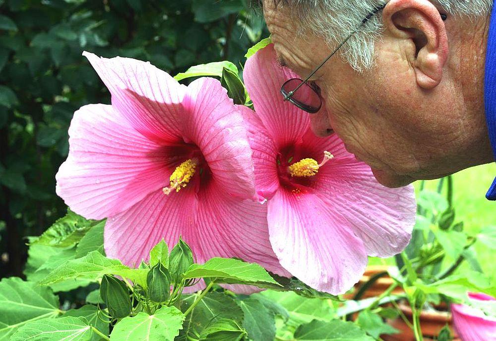 adelaparvu.com despre hibiscus cu flori gigant, flori uriase, Text Carli Marian