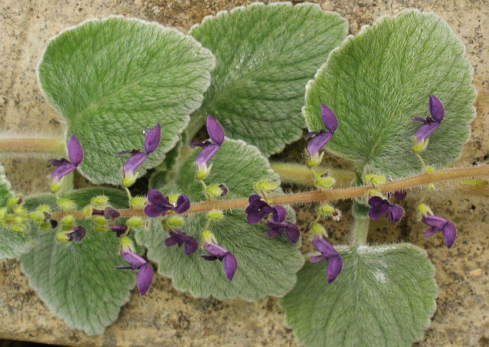 adelaparvu.com despre planta care alunga tantarii, Plectranthus amboinicus sau tantarica, Text Carli Marian