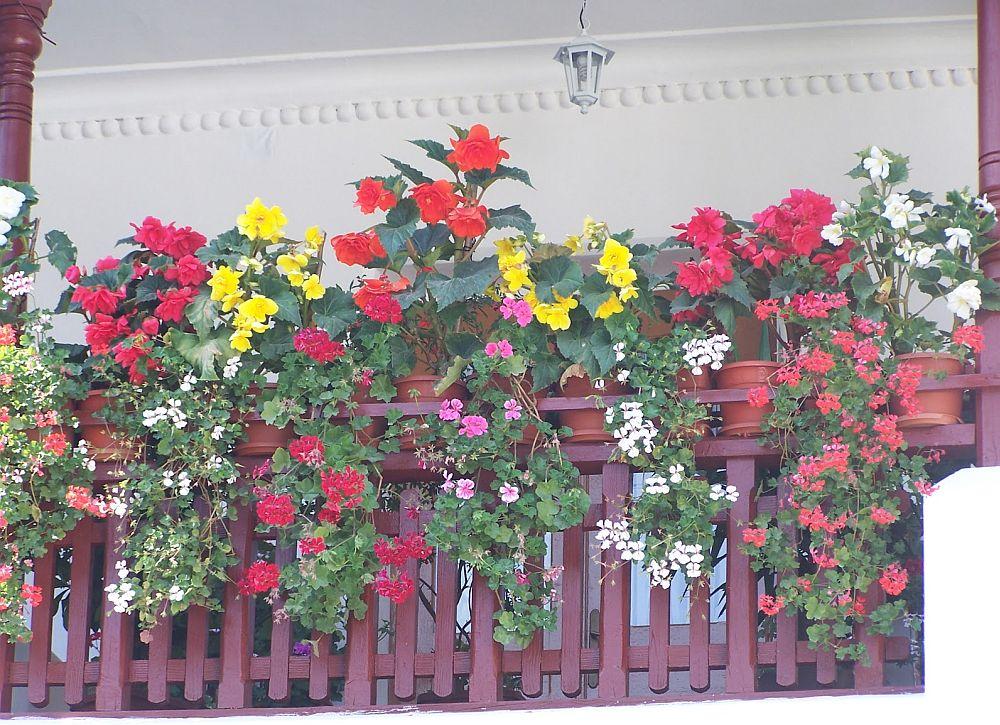 adelaparvu.com despre plante la ghiveci cu flori, plante traditionale romanesti, Text Carli Marian (1)