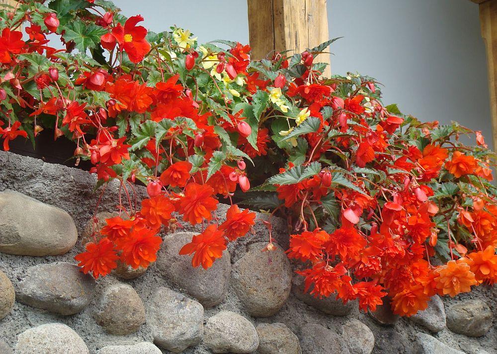 adelaparvu.com despre plante la ghiveci cu flori, plante traditionale romanesti, Text Carli Marian (10)