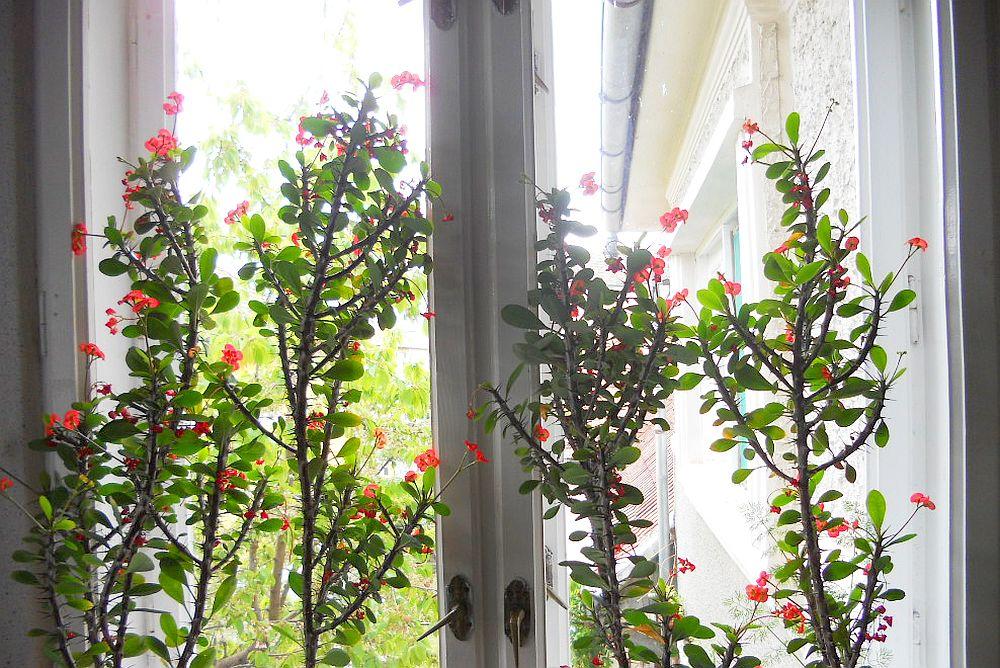 adelaparvu.com despre plante la ghiveci cu flori, plante traditionale romanesti, Text Carli Marian (11)