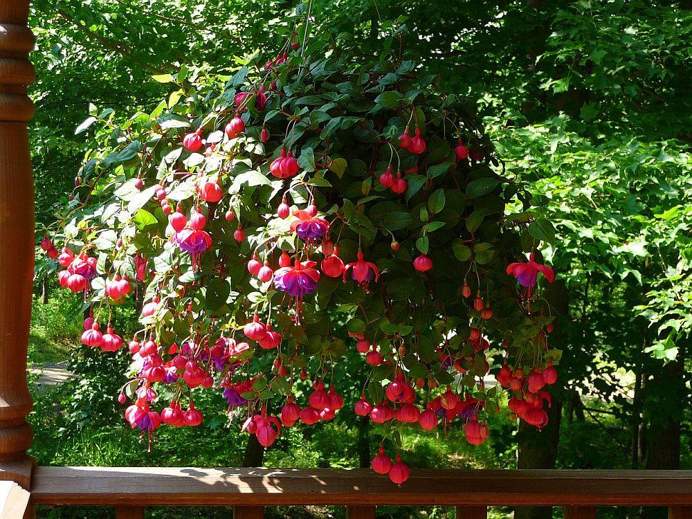 adelaparvu.com despre plante la ghiveci cu flori, plante traditionale romanesti, Text Carli Marian (12)