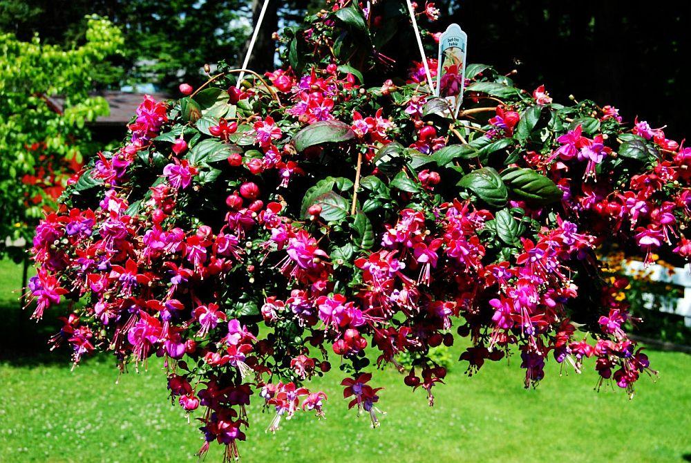 adelaparvu.com despre plante la ghiveci cu flori, plante traditionale romanesti, Text Carli Marian (13)