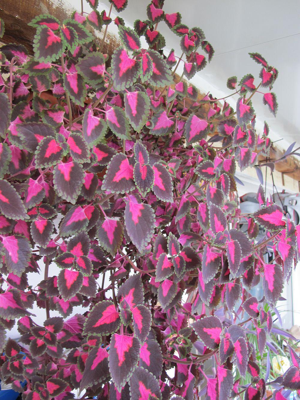 adelaparvu.com despre plante la ghiveci cu flori, plante traditionale romanesti, Text Carli Marian (14)