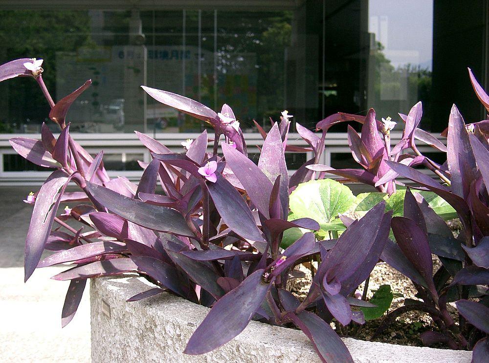 adelaparvu.com despre plante la ghiveci cu flori, plante traditionale romanesti, Text Carli Marian (17)