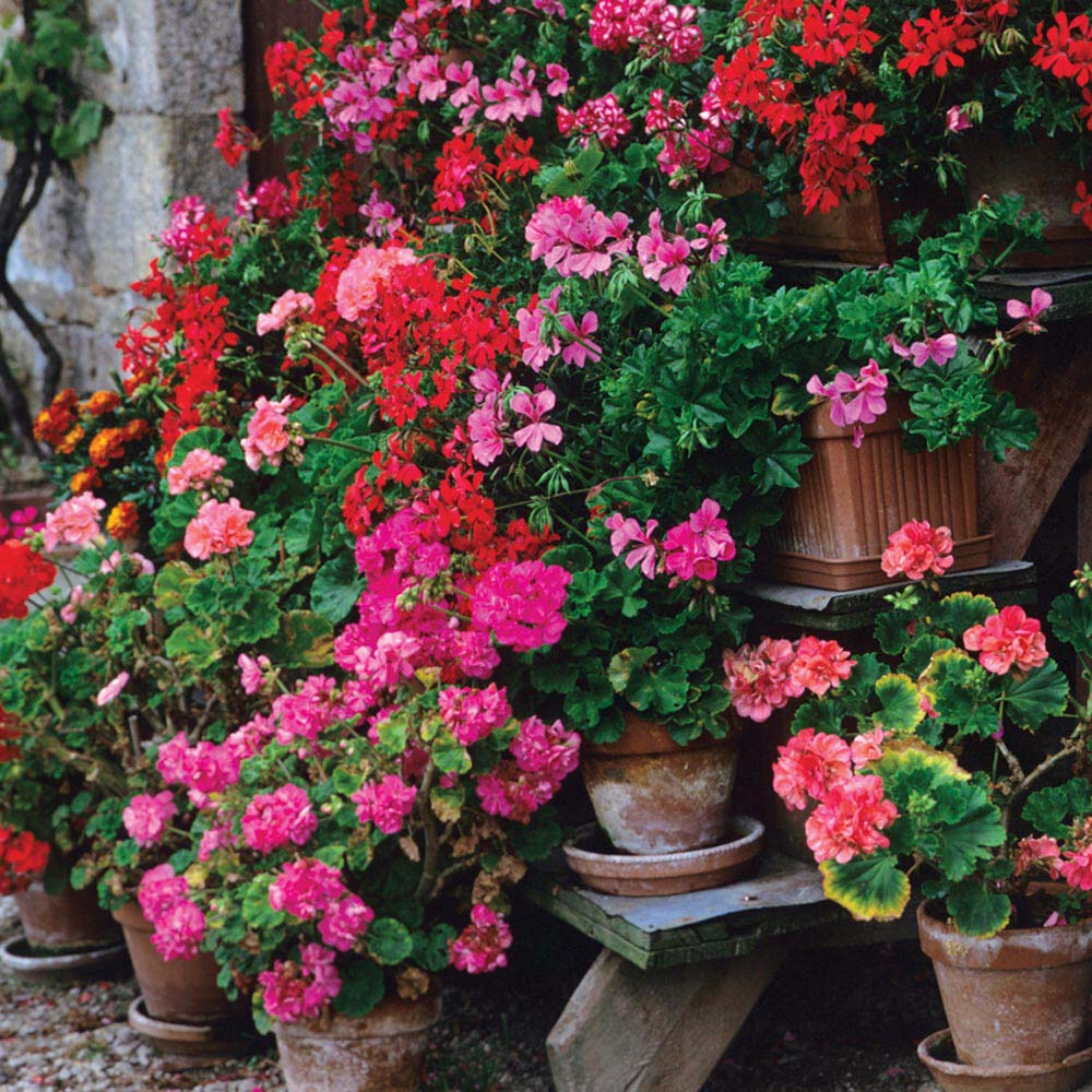 Collection of pelargoniums and	fuchsias in containers and terracotta pots