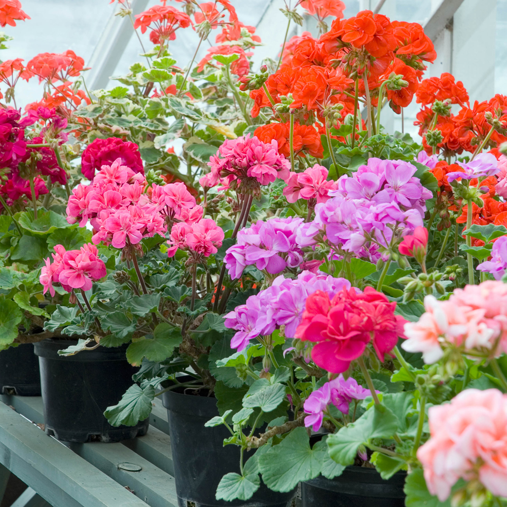 Geraniums on painted greenhouse staging
