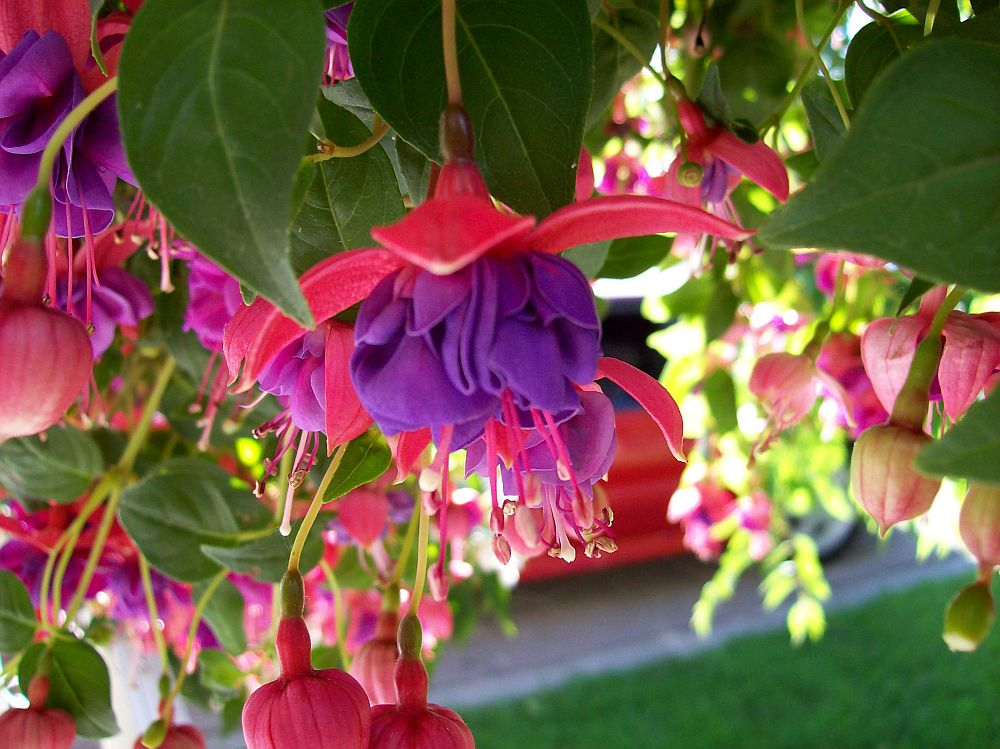 adelaparvu.com despre plante la ghiveci cu flori, plante traditionale romanesti, Text Carli Marian (8)