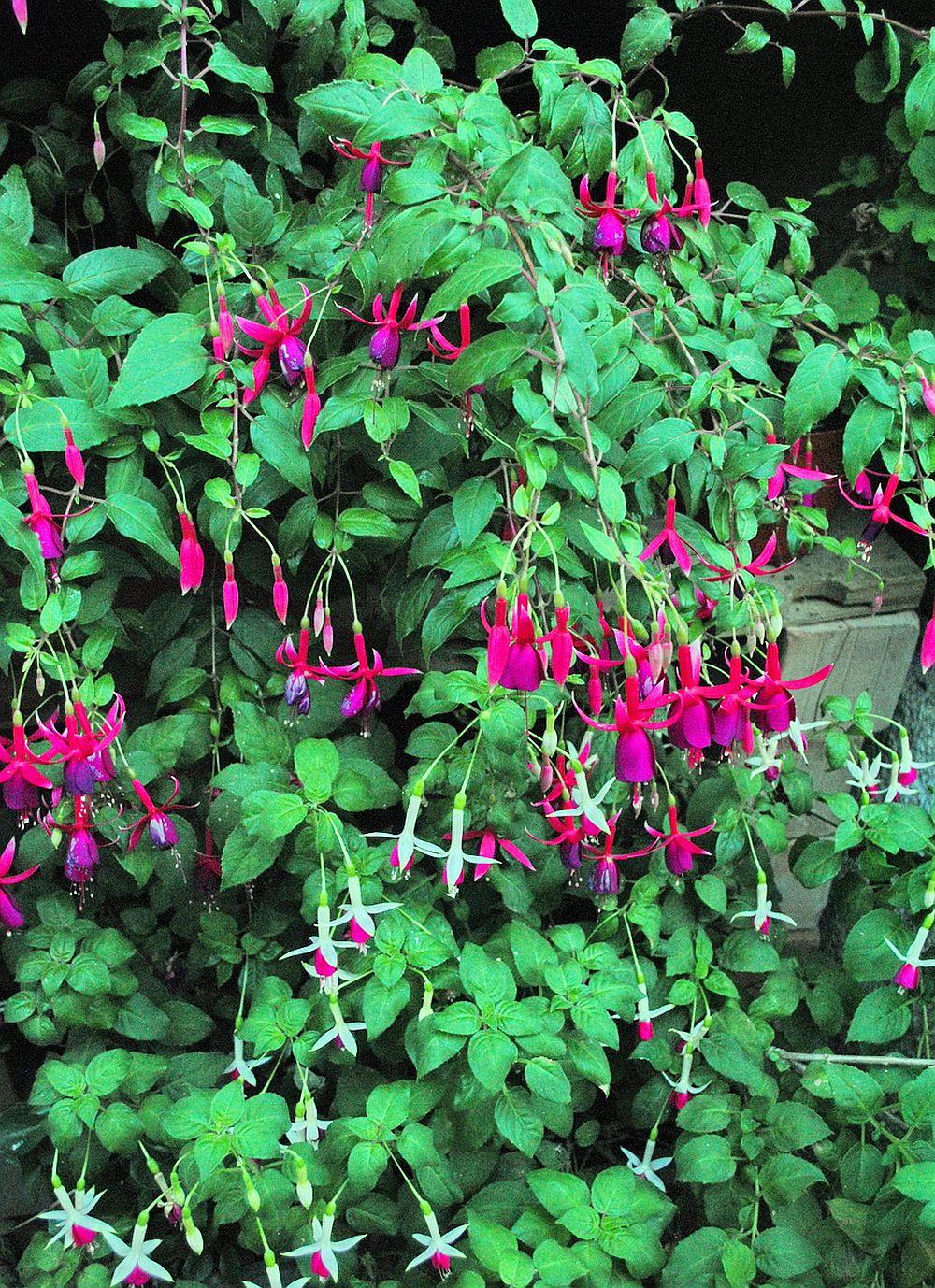 adelaparvu.com despre plante la ghiveci cu flori, plante traditionale romanesti, Text Carli Marian (9)