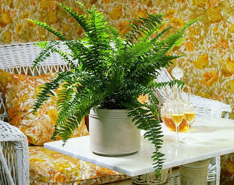 adelaparvu,com despre top 5 plante care absorb umiditatea din casa, Text Carli Marian, in foto Nephrolepis, feriga (4)