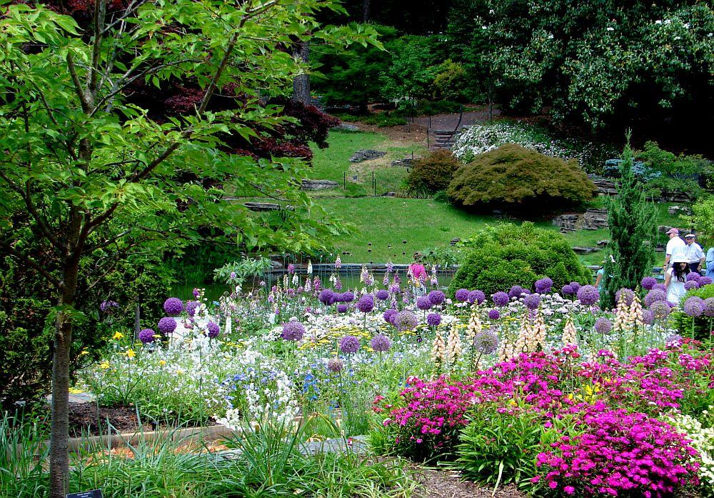adelaparvu.com despre Allium ceapa decorativa in gradina, text Carli Marian