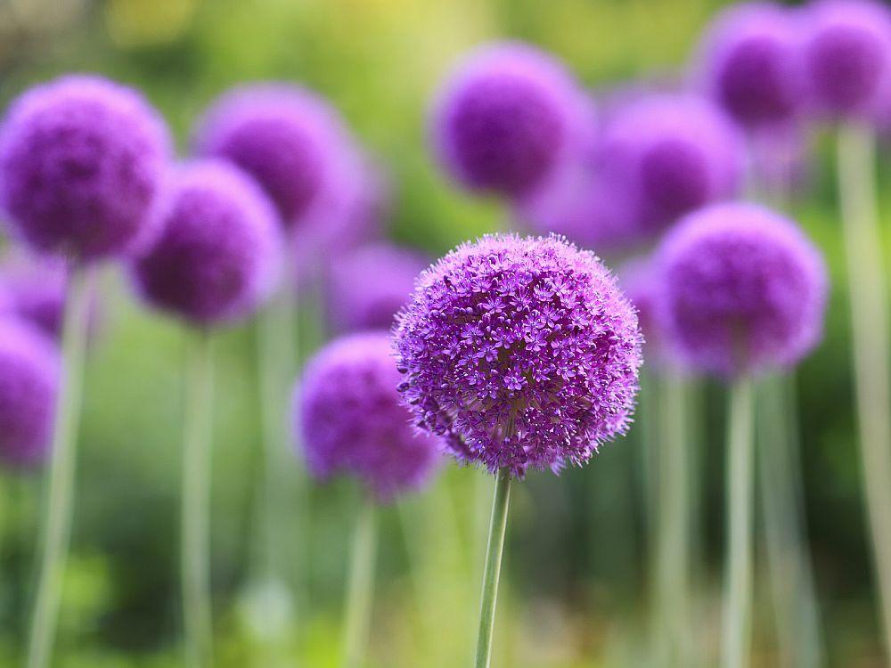 adelaparvu.com-despre-Allium-ceapa-decorativa-text-Carli-Marian-10