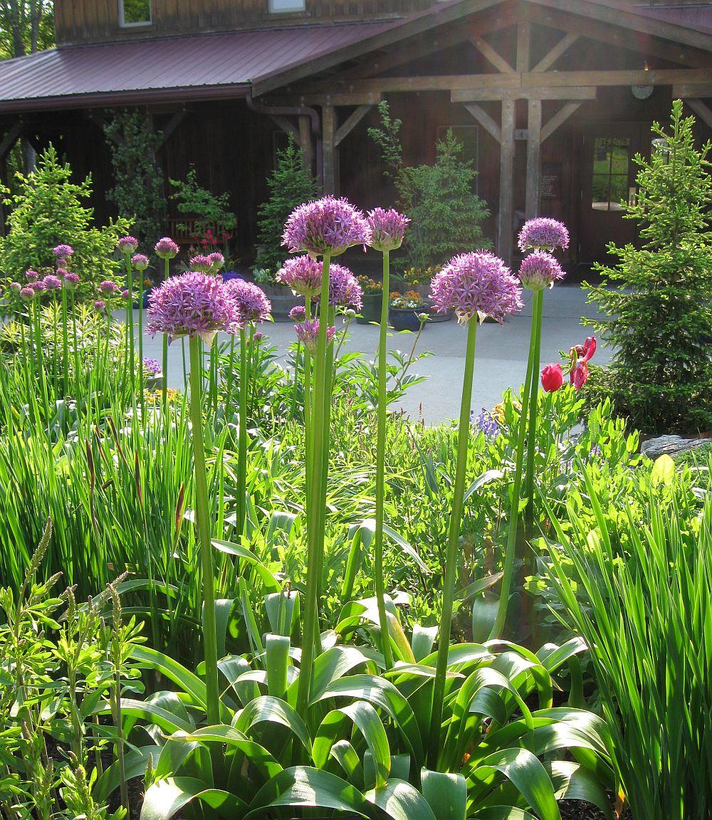 adelaparvu.com despre Allium ceapa decorativa, text Carli Marian 11
