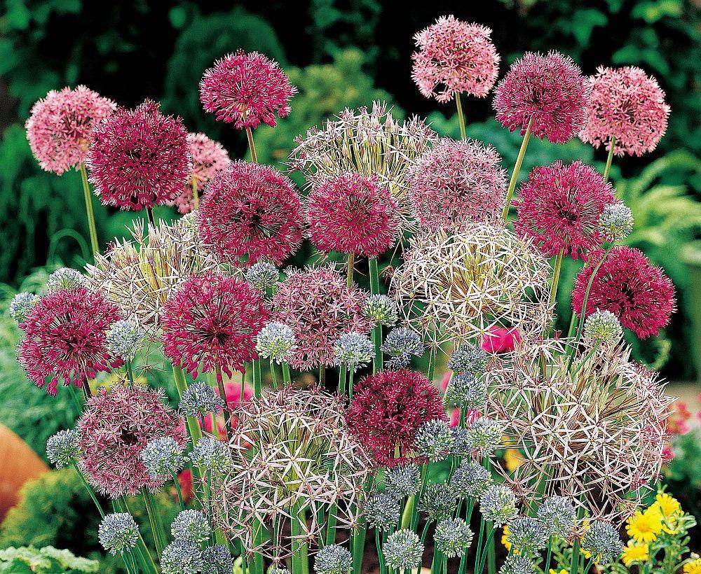 adelaparvu.com despre Allium ceapa decorativa, text Carli Marian
