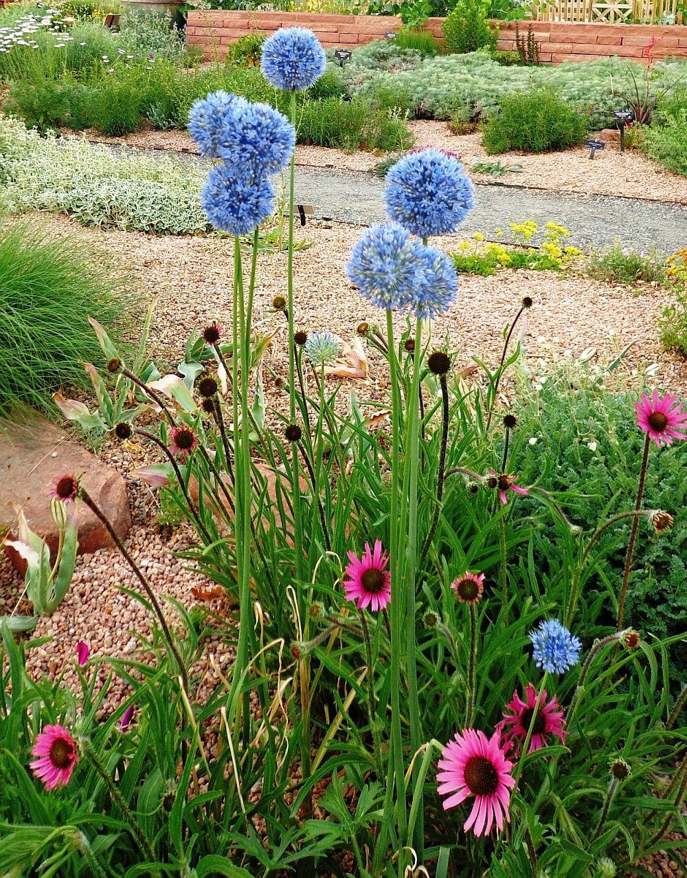 adelaparvu.com despre Allium ceapa decorativa, text Carli Marian 2