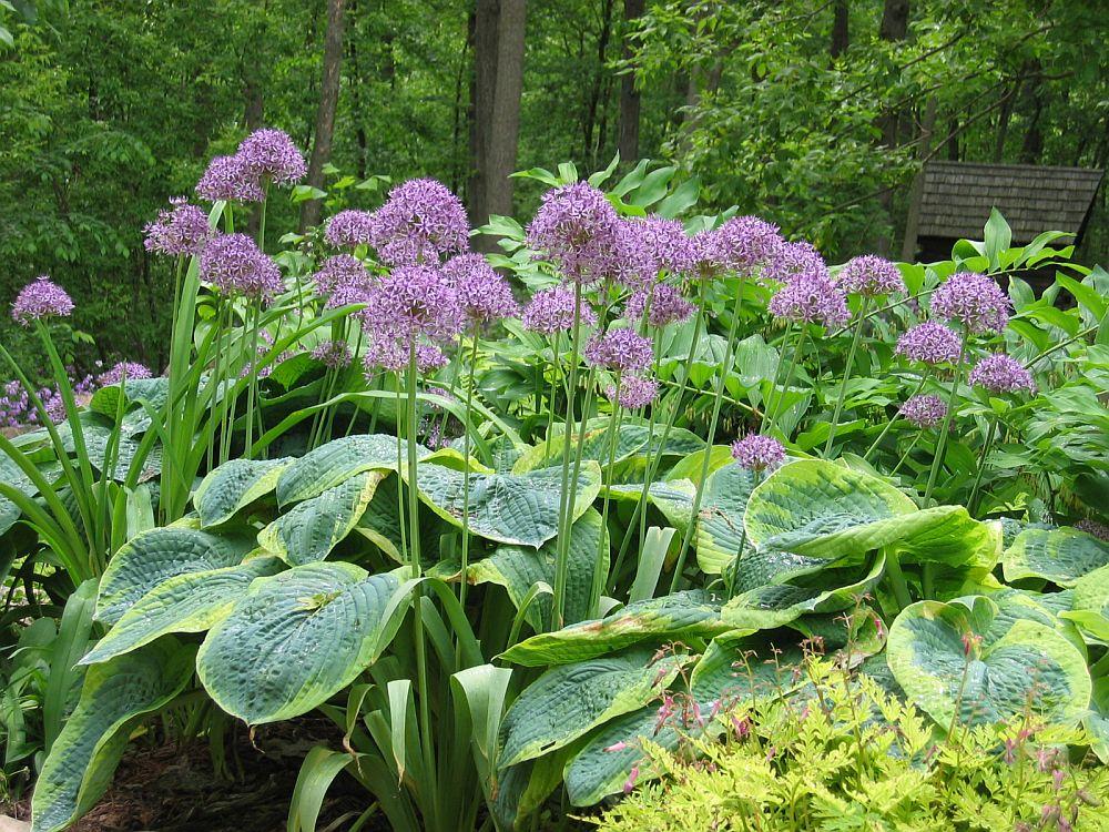adelaparvu.com despre Allium ceapa decorativa, text Carli Marian 4