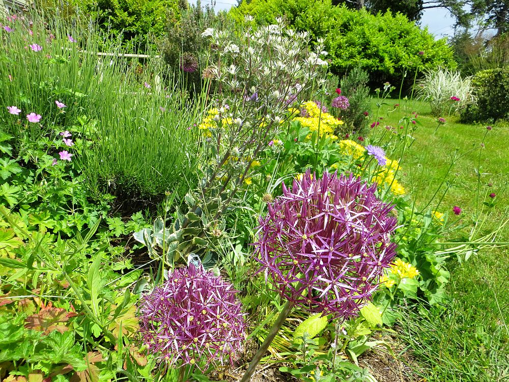 adelaparvu.com despre Allium ceapa decorativa, text Carli Marian 5