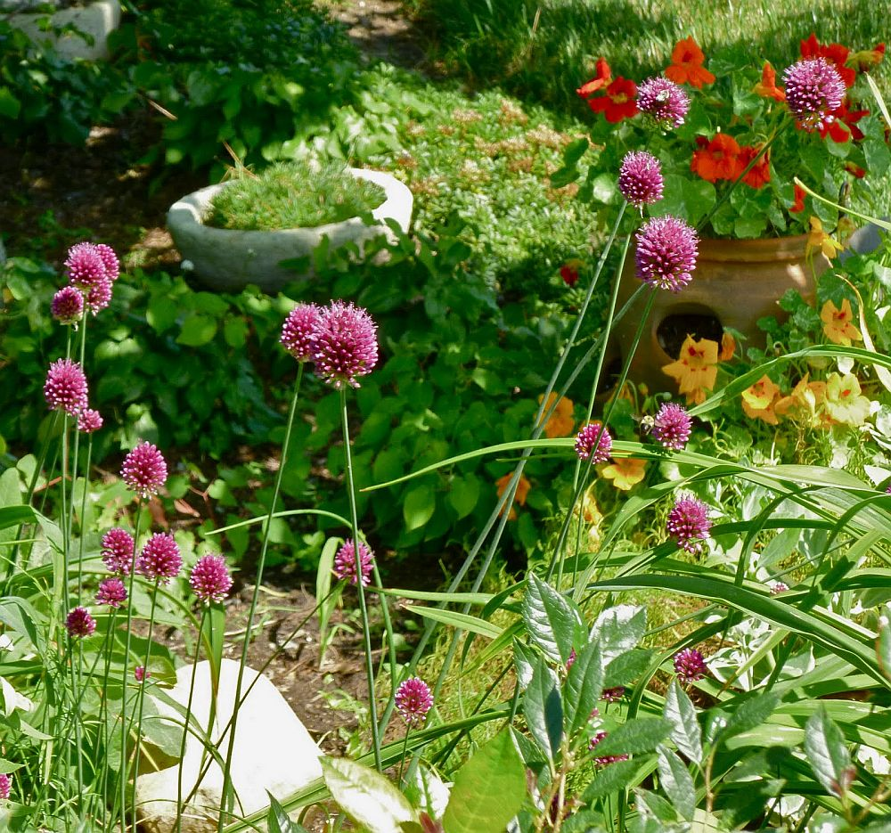 adelaparvu.com despre Allium ceapa decorativa, text Carli Marian 8