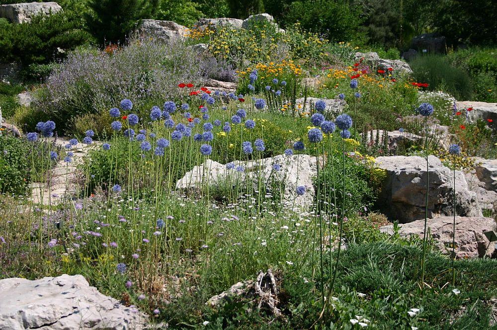 adelaparvu.com despre Allium ceapa decorativa, text Carli Marian, Foto Allium caeruleum