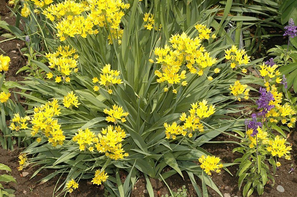 adelaparvu.com despre Allium ceapa decorativa, text Carli Marian, Foto Allium moly