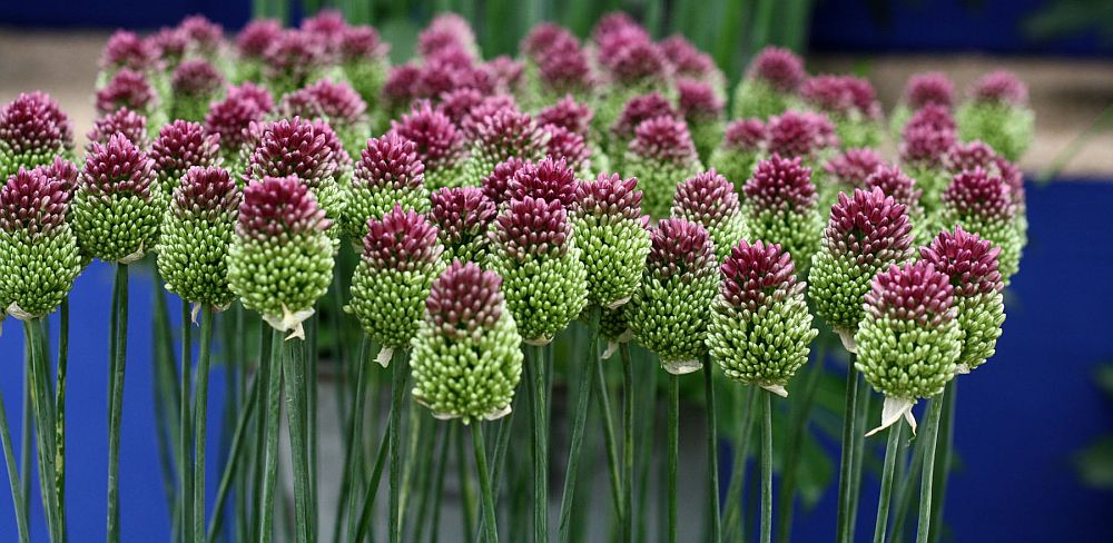 adelaparvu.com despre Allium ceapa decorativa, text Carli Marian, Foto Allium sphaerocephalon