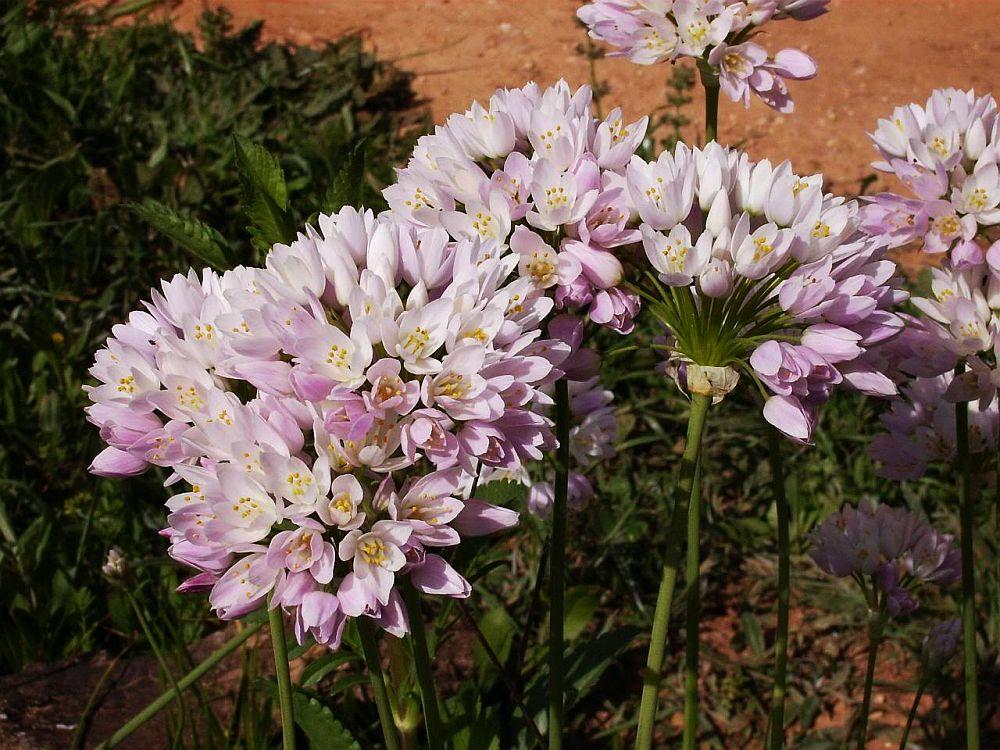 adelaparvu.com-despre-Allium-ceapa-decorativa-text-Carli-Marian-in-foto-Allium-roseum