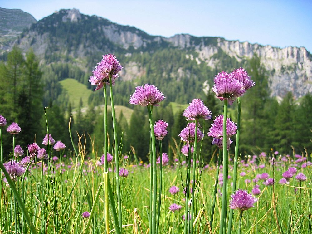 adelaparvu.com despre Allium ceapa decorativa, text Carli Marian, in foto Allium schoenoprasum var alpinum