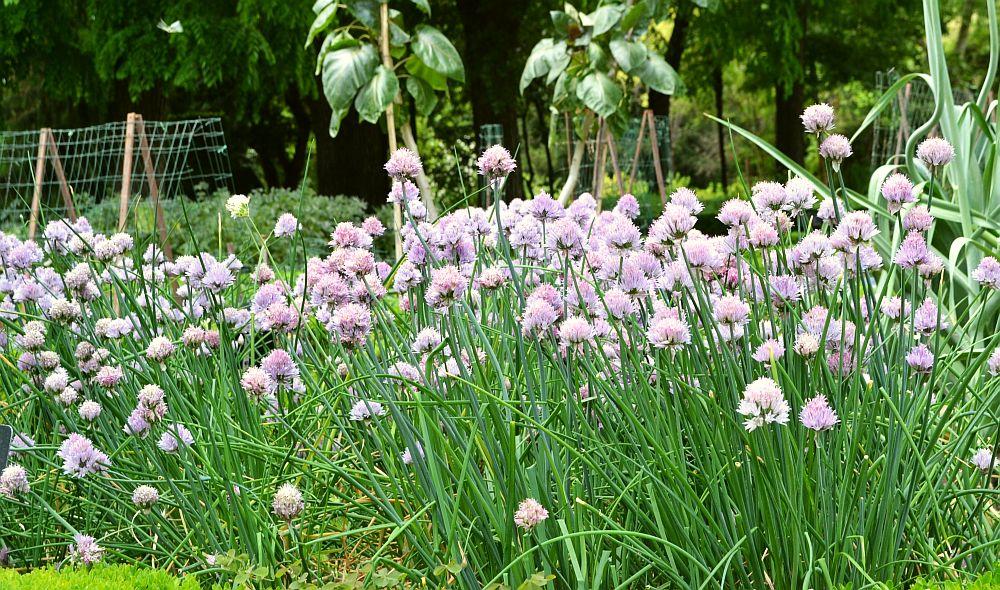 adelaparvu.com despre Allium ceapa decorativa, text Carli Marian, in foto Allium schoenoprasum