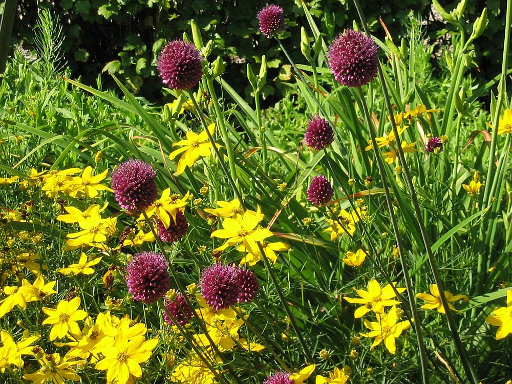 adelaparvu.com despre Allium ceapa decorativa, text Carli Marian, in foto Allium sphaerocephalon alaturi de Coreopsis Zagreb