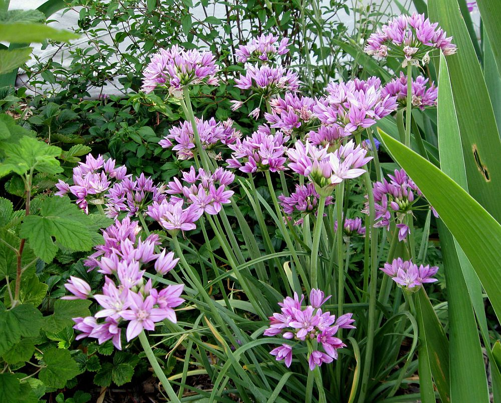 adelaparvu.com despre Allium ceapa decorativa, text Carli Marian, in foto Allium unifolium