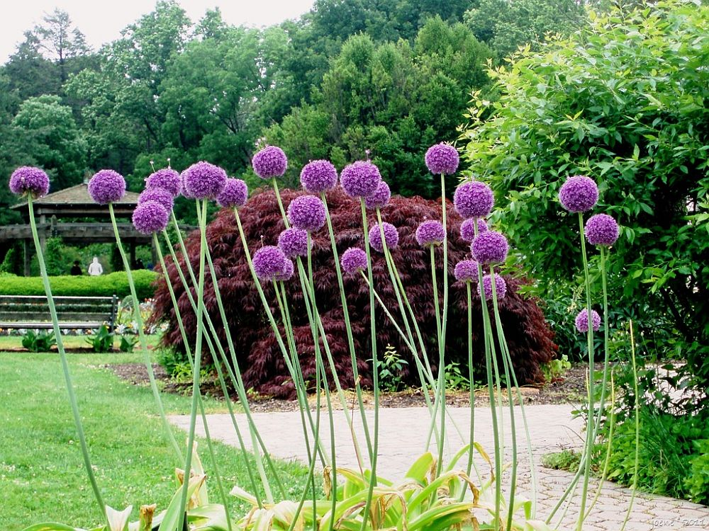 adelaparvu.com despre Allium ceapa decorativa, text Carli Marian, in foto Globe allium