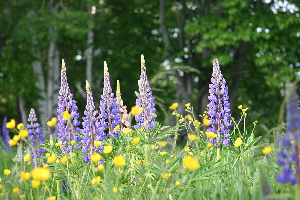 adelaparvu.com despre lupin, lupine, lupinus, flori pentru gradina, Text Carli Marian (20)